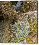 American Dipper In Nest   #1468 Canvas Print