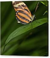An Isabella Butterfly Eueides Isabella Canvas Print