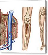 Anatomy Of Human Bone Marrow Canvas Print