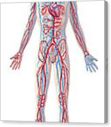 Anatomy Of Human Circulatory System Canvas Print