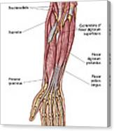Anatomy Of Human Forearm Muscles, Deep Canvas Print