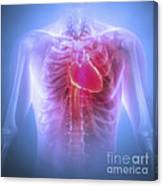 Anatomy Of The Chest Canvas Print