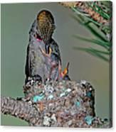 Annas Hummingbird Feeding Young Canvas Print