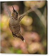 Anna's Hummingbird Canvas Print