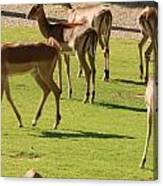 Antelopes Canvas Print