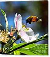 Apple Blossom And Honey Bee Canvas Print