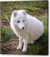 Arctic White Fox Canvas Print