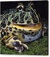 Argentine Horned Frog Canvas Print