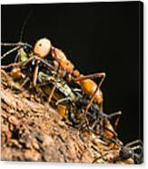 Army Ant Carrying Cricket La Selva Canvas Print