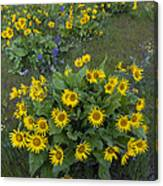 Arrowleaf Balsamroot And Lupine Canvas Print