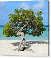 Aruba Divi Divi Tree Canvas Print