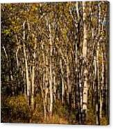 Aspen Forest In Fall Canvas Print