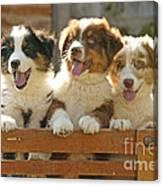 Australian Sheepdog Puppies Canvas Print