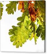 Autumn Oak Leaves Canvas Print