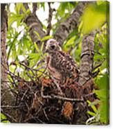 Baby Red Shouldered Hawk Canvas Print