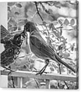 Baby Robin - Yummy Canvas Print