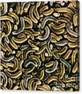 Bacteria, Sem Canvas Print