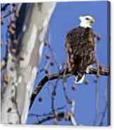 Bald Eagle 2 Canvas Print