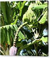Banana Tree Canvas Print
