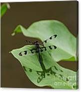Banded Pennant Dragonfly Canvas Print