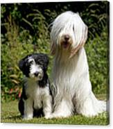Bearded Collie And Puppy Canvas Print