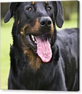 Beauceron Dog Canvas Print