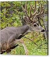 Beautiful Mule Deer Buck With Velvet Antler  Canvas Print