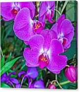 Beautiful Purple Orchid - Phalaenopsis Canvas Print