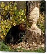Beaver   Castor Canadensis Canvas Print