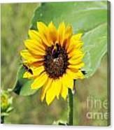 Bee Sunflower Canvas Print