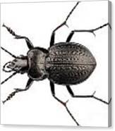 Beetle Species Carabus Coriaceus Canvas Print