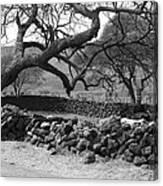 Bent Tree Canvas Print