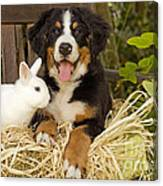 Bernese Mountain Puppy And Rabbit Canvas Print