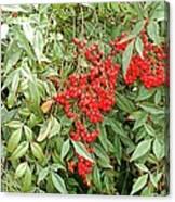 Berry Bush Canvas Print