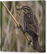 Big Dinner For Female Red Winged Blackbird I Canvas Print