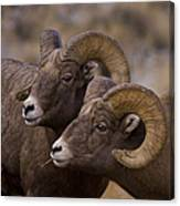 Big Horn Rams   #4664 Canvas Print