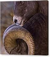 Big Horn Rams   #4732 Canvas Print