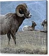 Big Horn Sheep 2 Canvas Print