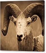 Big Horned Ram Canvas Print