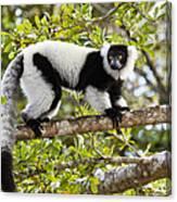 Black And White Ruffed Lemur Madagascar Canvas Print