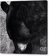 Black Bear Curtsy  Canvas Print