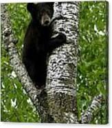 Black Bear  Ursus Americanus Canvas Print