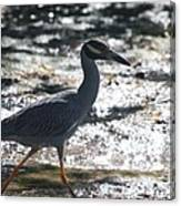 Black-crowned Night-heron Canvas Print