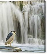 Black-crowned Night Heron Canvas Print