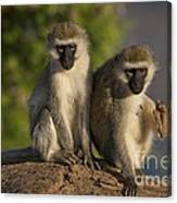 Black-faced Vervet Monkey Canvas Print