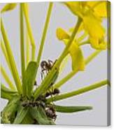 Black Garden Ant On Yellow Flower Canvas Print