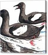 Black Guillemot Canvas Print