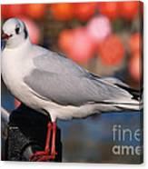 Black-headed Gull Canvas Print