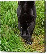 Black Jaguar  Canvas Print
