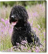 Black Labradoodle Canvas Print